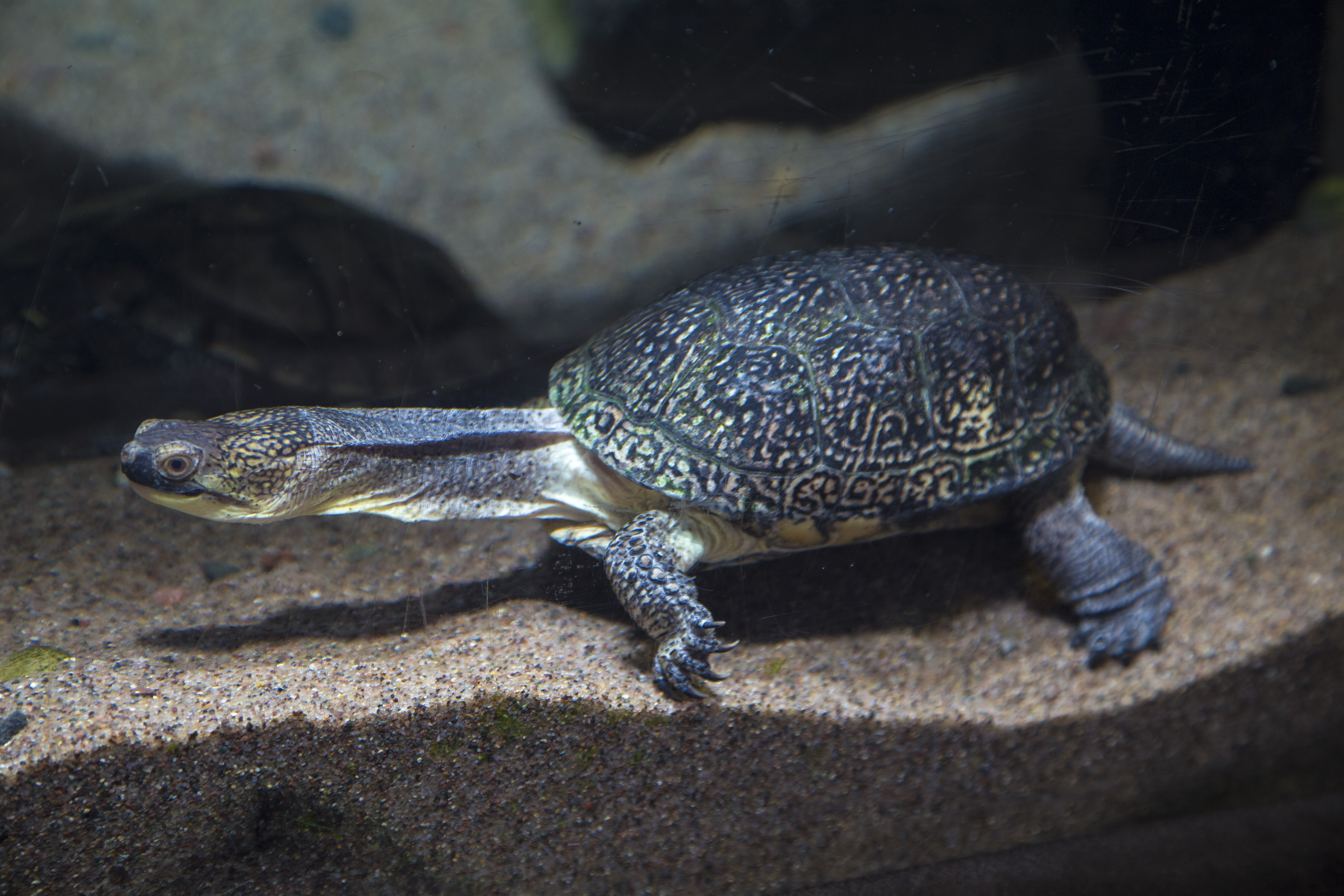 Young Blanding's Turtle stretches out it's neck.